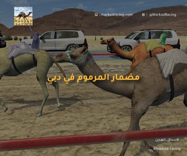 مضمار المرموم في امارة دبي